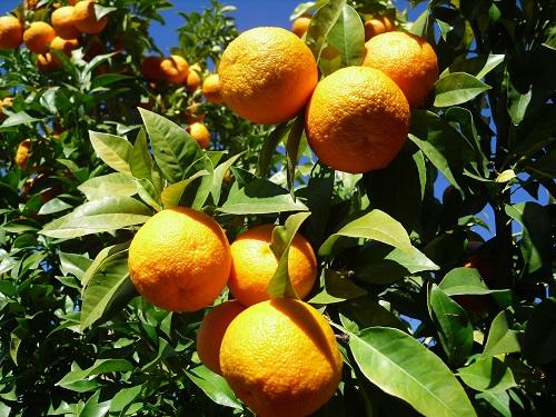 Lee más sobre el artículo Naranjas de Sevilla (2ª parte)